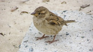 sparrow-2067146_1920